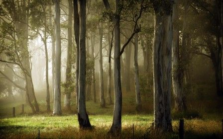 Eucalypt forest Wallpaper