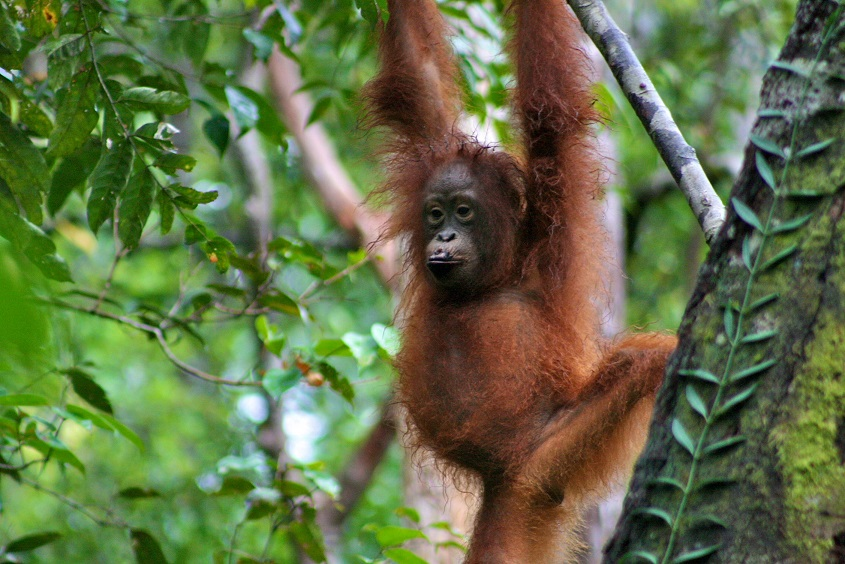 Orangutan Central Kalimantan by CIFOR Flickr CC BY NC ND20 Low Res