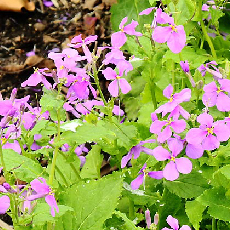 chinese-violet-cress