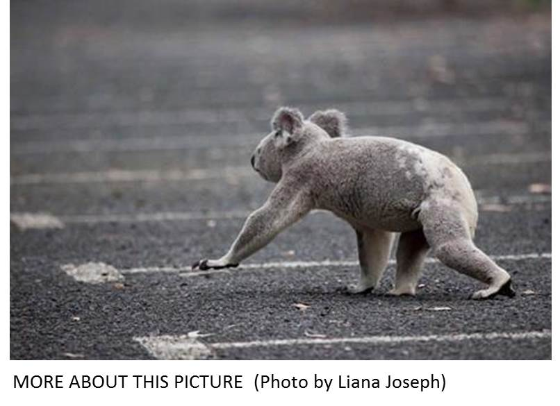 Koalas and cars brief