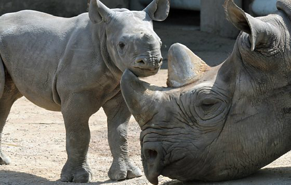 how to save the rhino